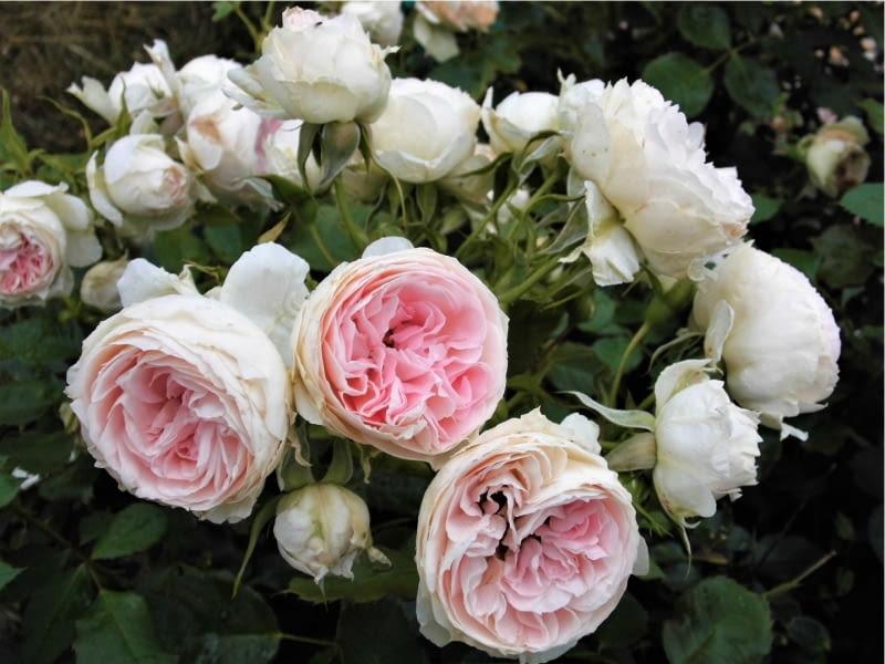 Róża rabatowa Pompon Flower Circus''  (''Pashmina'')