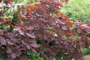 Encyklopedia roślin: Perukowiec podolski  Cotinus coggygria