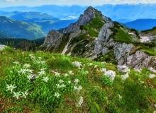 Wnaturze szarotka rośnie wśród wapiennych skał, tworząc szerokie kępy, takie jak ta na zdjęciu zrobionym wAlpach Julijskich na terenie Słowenii.