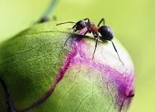 Mrówki na pąkach peonii nie są niczym groźnym, jeśli na roślinie nie pojawiły się także mszyce - prawdziwe szkodniki, które wysysają soki z roślin