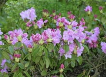 Rhododendron cv. SLOWA KLUCZOWE: Ostrość Wysoka jakość różaneczniki Polska mazowieckie Pruszków 3-5 PCK