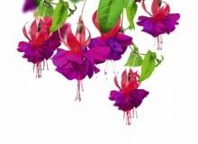 Fuksja. Kwiaty balkonowe