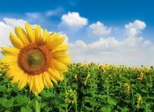 Słonecznik to jeden z najbardziej okazałych kwiatów lata