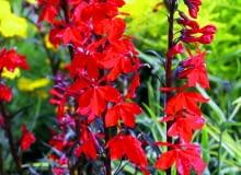 Lobelia cardinalis Bees Flame