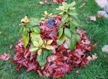 Warstwa liści wokół różanecznika zabezpiecza zimię przed wsychaniem. que porae il eum, ut et ex estrume