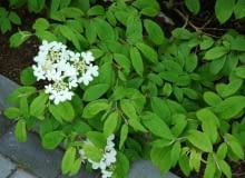 Kalina japońska forma płodna (Viburnum plicatum f. tomentosum). Ma białe kwiaty