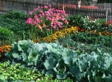 Zadbany ogród warzywny to punkt na honorze dobrej ogrodniczki.