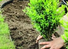 1. Najpierw nadajemy roślinie ogólny zarys (można posłużyć się specjalnym metalowym stelażem i skracać wyrastające poza niego gałązki).