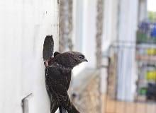 Dla jerzyków można zawiesić budki lęgowe o budowie dostosowanej do ich potrzeb