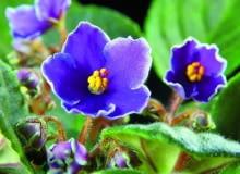 Fiołek afrykański (Saintpaulia ionantha) 'Bright eyes'. Ma niebieskie kwiaty