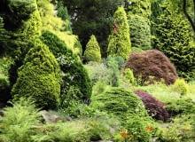 Kondycje krzewów iglastych można poprawić dzięki stosowaniu stymulatorów wzrostu, np. Asahi SL.
