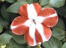 Kwitnące okazy niecierpka Wallera kupuje się zwykle wiosną jako rośliny sezonowe. Tworzą niskie (do 30 cm) kępy, choć niektóre odmiany mają zwisłe pędy.
