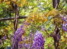 PĘDY GLICYNII często same zaplatają się o siebie, tworząc rodzaj warkocza. Zastępuje on pień i wzmacnia stabilność rośliny.