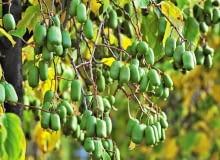 Kiwi z własnego ogrodu. ODMIANY AKTINIDII OSTROLISTNEJ: 'Jumbo' ceniona jest za bardzo duże smaczne owoce;