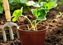 Sadzonki zakupione w doniczkach łatwo się przyjmują, bo mają dobrze rozwiniete korzenie.
