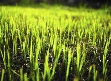 młoda trawa, młoda trawa, trawnik, koszenie trawnika,