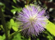 Kwiatki mimozy wstydliwej tworzą gęstą różowofioletową główkę o średnicy ok. 15 cm. Jej ozdobą są blisko centyme-trowe pręciki. Niestety, nie pachną.