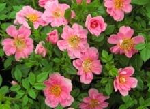 Róża Pink Pin's