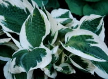 Funkia 'Patriot' (Hosta 'Patriot')