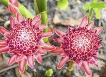 Zapylone kwiatki szybko przekształcają się w drobne fioletowe owoce