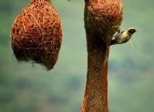 Wikłacz złotogłowy (Ploceus philippinus) buduje ciekawe gniazdo składające się z trawy. Jest zawieszone na liściach paproci lub palmy. Do gniazda prowadzi tunel do komory z zagłębieniem, gdzie leżą jaja. Często znajdują się powyżej zbiorników wodnych - tak by nie mogły się do nich dostać drapieżniki.