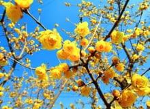 Odmiana 'luteus' wyróżnia się intensywnie żółtymi płatkami.