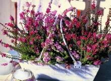 Wrzośce zaraz po kwitnieniu powinny być przycinane, aby w następnym roku całe pędy były obsypane kwiatami (w przeciwieństwie do okazów na tym zdjęciu).