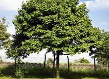 Przycinanie lub formowanie starych drzew wymaga pozwolenia z urzędu gminy