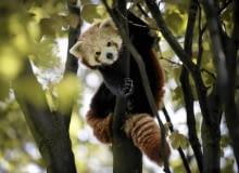 31.07.2015 Chorzow . Panda mala - nowe zwierzeta w slaskim zoo . Fot. Grzegorz Celejewski / Agencja Gazeta SLOWA KLUCZOWE: Zoo Park Slaski