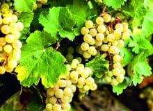 Zdrowe liście winorośli nie mają żadnych plam. Te na zdjęciu przebarwiają się jesiennie.