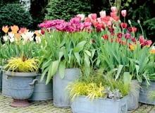 W ogrodzie zachwyca teraz feeria barw tulipanów.
