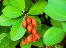 Efektowna odmiana korynokarpusa z biało obrzeżonymi liśćmi. W kółku: dojrzewające owoce formy zielonej.