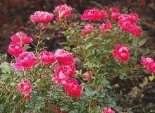 'Angela' - wys. 1,5 m, śr. kwiatów 3 cm. W listopadzie różyczek jest mniej, ale krzewy nadal wyglądają imponująco.