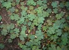 chwasty, szczawik rożkowaty (Oxalis corniculata)
