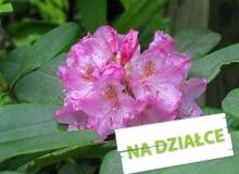 Rózanecznik - roślina kwasolubna