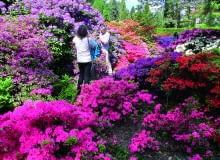 Kolekcja azalii i różaneczników rozkwita w połowie maja. Na pierwszym planie drobne azalie japońskie.