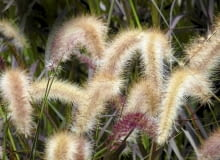 trawy, rozplenica