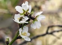 KWIATY MIGDAŁA rozwijają się wczesną wiosną, owoce dojrzewają jesienią.