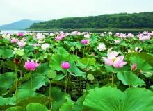 W krajach tropikalnych lotos gęsto pokrywa tafle jezior, a jego liście, kwiaty i owoce wyrastają ponad wodę.
