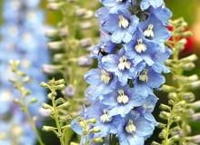 Ostróżka 'Light Blue White Bee' zachwyca błękitnymi płatkami