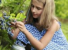 Dobre odmiany borówek tworzą obfite grona dużych i smacznych owoców.