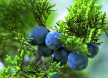 Dojrzałe owoce jałowca wyniosłego mają niebieskawy nalot i także jadalne.