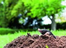 Kret praktycznie całe życie spędza pod ziemią. Na powierzchnię wychodzi sporadycznie - letnimi nocami lubi posmakować np. dojrzałych truskawek lub poziomek, których jest wielkim amatorem