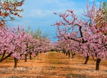 Drzewka migdałka to prawdziwa ozdoba ogrodu. Mało tego - jego kwitnienie zwiastuje wiosnę.