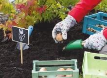 To ostatni dzwonek na sadzenie tulipanów, narcyzów i innych wiosennych roślin cebulowych. Po sadzeniu rabatę należy podlać i okryć ściółką.