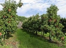 Jabłonie na podkładkach półkarłowych sadzimy w gęstych szpalerach. Owocują obficie, a zbiór jabłek jest łatwiejszy.