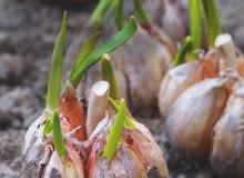 TE GŁÓWKI CZOSNKU czekają na podział i posadzenie w gruncie - zaczęły już z nich wyrastać liście.