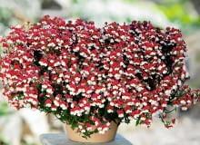 Sunsatia. Ogrodnicy reklamują ją jako alternatywę dla bratków, ponieważ kwitnie nieprzerwanie od marca aż do jesiennych przymrozków. Jej pachnące kwiaty są drobne, ale za to tak liczne, że prawie nie widać spod nich liści. Płatki mogą być np. żółte, pomarańczowe, czerwone albo dwubarwne. Sunsatia kocha słońce, toleruje również półcień.