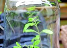 W lutym wysiewam pomidory. Liczę, ile jest nasion w torebce i przygotowuję odpowiednią ilość małych doniczek - najlepiej tzw. wielopaki. Napełniam je specjalnym lekkim podłożem do siewek. Potem pojedynczo wciskam do niego nasiona i zraszam delikatnie wodą z opryskiwacza. Doniczki stawiam na parapecie. Pod szklaną osłoną nasiona szybko kiełkują.