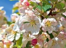 *E4PFR6 Malus Evereste crab apple blossom